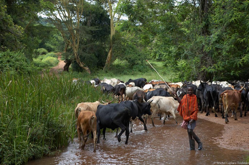 Herding cattle in the Loita Hills