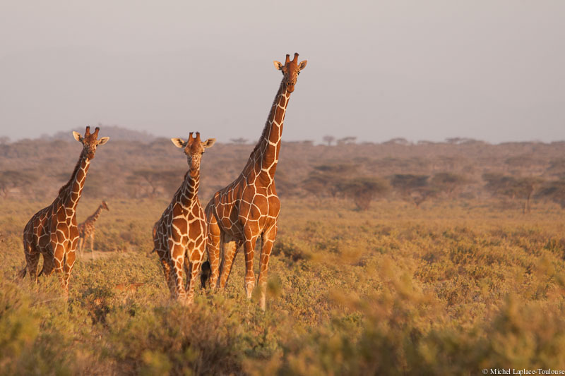Reticulated Giraffe in Samburu